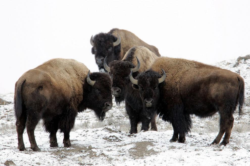 Američtí bizoni.