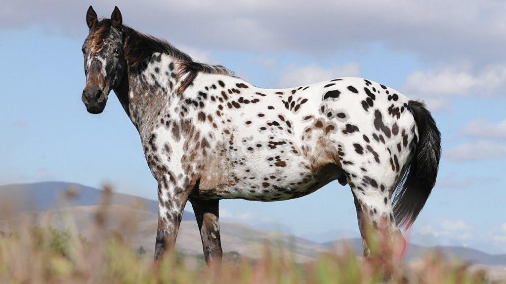Kůň Appaloosa, vyšlechtěný indiány kmene Propíchnutých nosů. Má vlice specifické zbarvení, stejně jako žádoucí jezdecké vlastnosti.