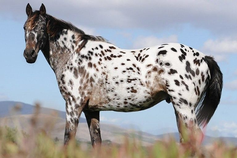 Appaloosa, speciální plemeno koní vyšlechtěné indiány kmene Propíchnutých nosů.