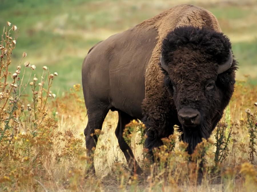 Bizon v Yellowstonském národním parku.