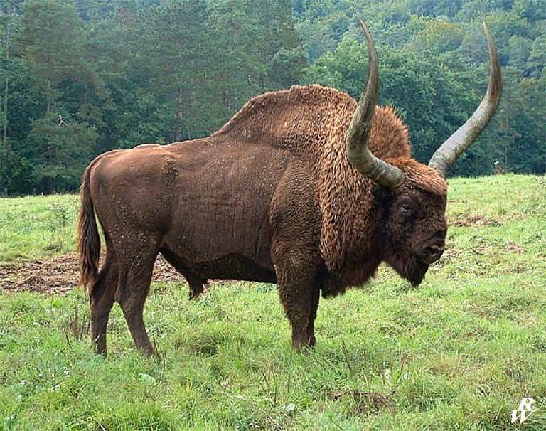 Pravděpodobný vzhled bizona latifrons.