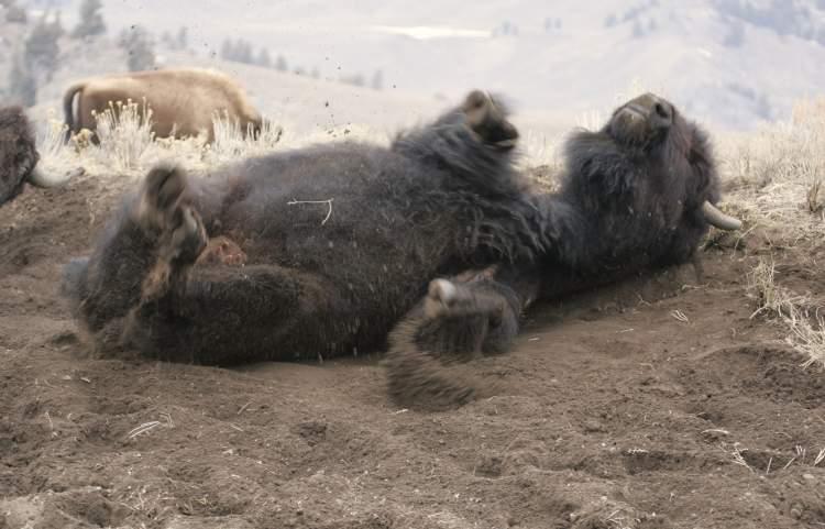 Bizon válející se v bahništi.