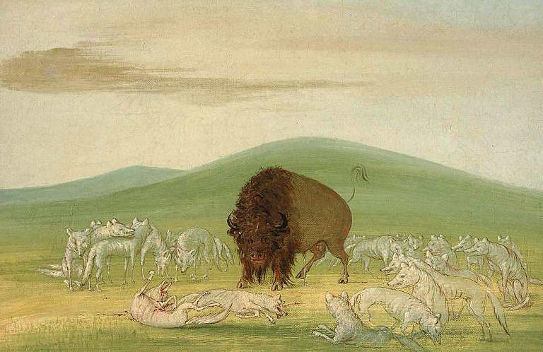 Bizon bojující o život se smečkou bílých vlků. Kresba od George Catlina.