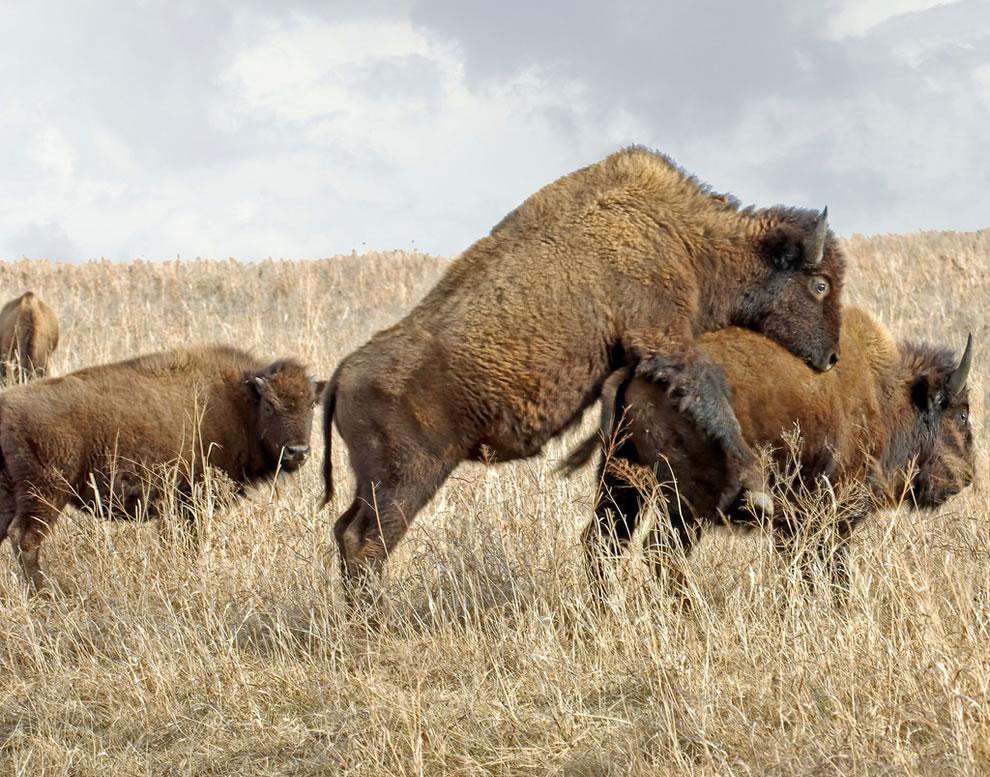 Bizoní býk se pokouší spářit s krávou.