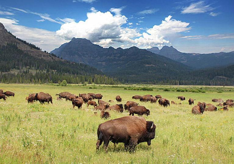 Bizoní stádo v Yellowstonském národním parku.