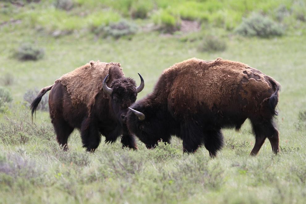 Souboj bizoních býků.