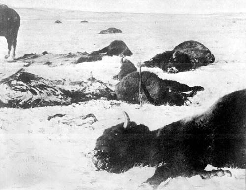 Mrtví bizoni na pláních. Dobová fotografie ze 70tých let.