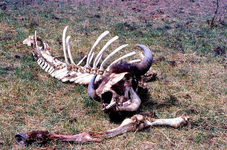Plýtvání bizoním masem ze strany indiánů bylo extrémní. Nebylo ale zapříčiněno nějakým zlým záměrem, jako spíše představou indiánů, že počet bizonů je prakticky neomezený. Šamani věřili, že bizoni vycházejí na Velké pláně z posvátné jeskyně, odkud je posílá Velký duch, který je může tvořit v neomezeném množství.