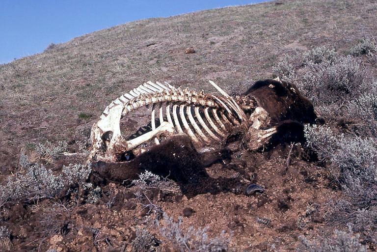 Smutný obrázek. V 19. století se nacházely na Velkých pláních statisíce a miliony bizoních mršin. Tito bizoni však nezemřeli přirozenou smrtí, ale byli uloveni buď bělochy, metisy nebo indiány. Jen v malém procentu případu byly smysluplně využiti. Často byli zabíjeni jen za účelem zisku, radosti z lovu nebo z prosté lidské bezohlednosti.