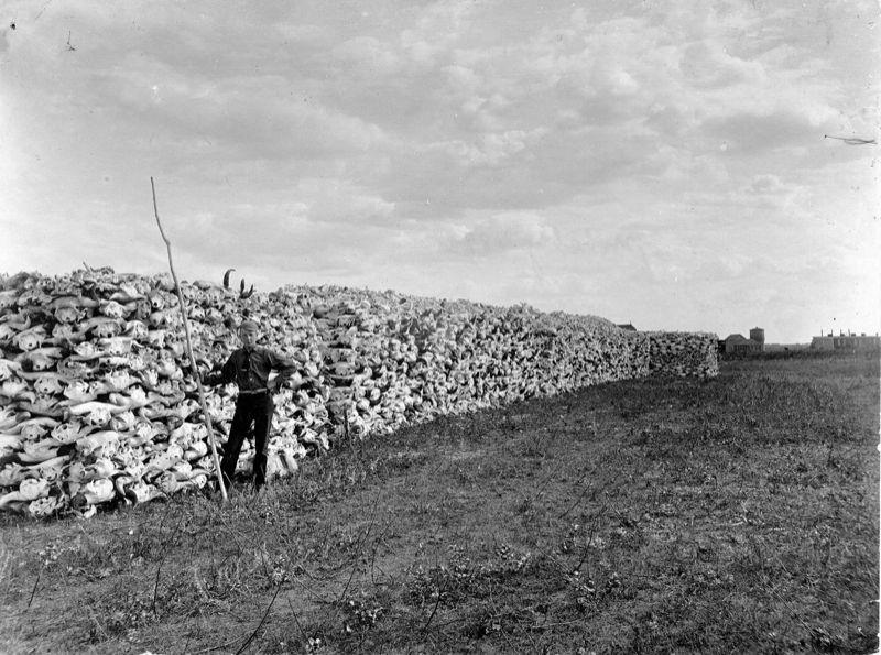 Tisíce a tisíce srovnaných bizoních lebek.