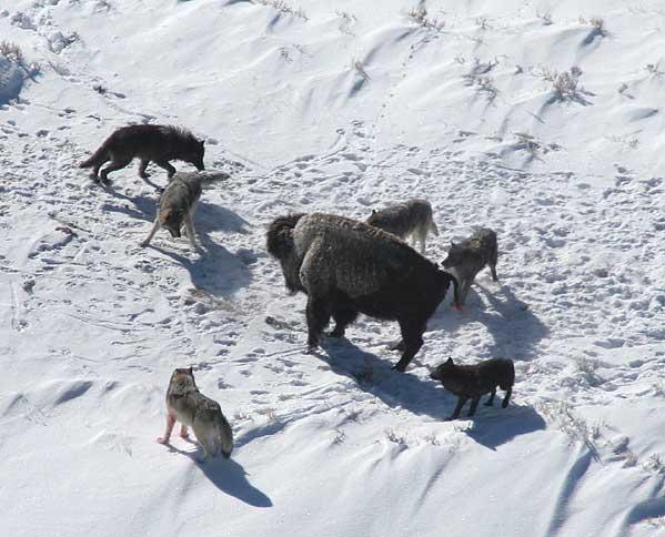 Vlci útočící na bizona.