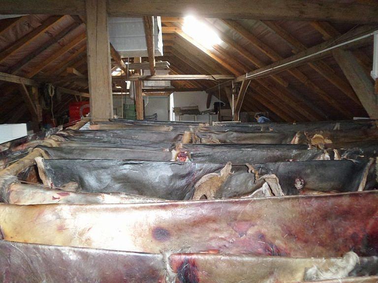 Vysušené jelení kůže ve firmě, kde se bourá zvěřina.