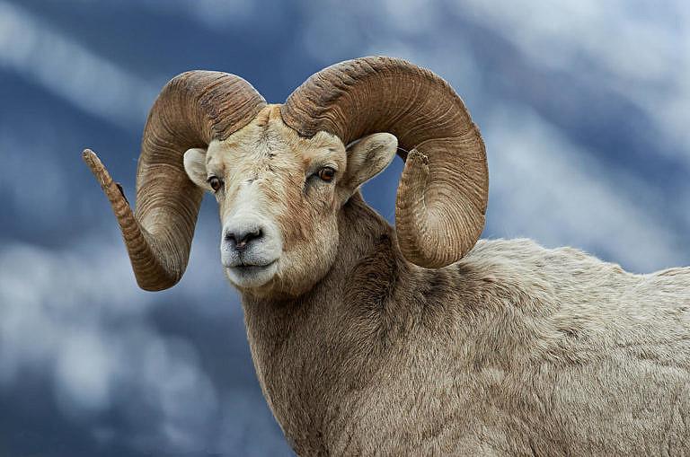 Ovce tlustorohá - beran.