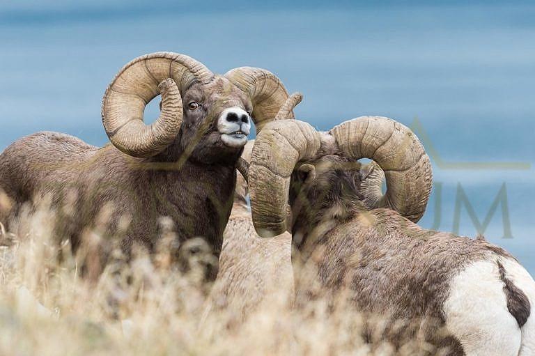 Ovce tlustorohá-berani.