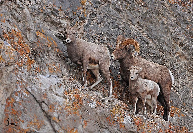 Rodinka ovce tlustorohé.