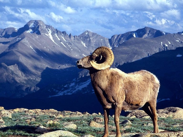 Ovce tlustorohá ve svém přirozeném prostředí - ve Skalistých horách.