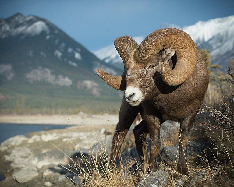Ovce tlustorohá ve svém přirozeném prostředí.