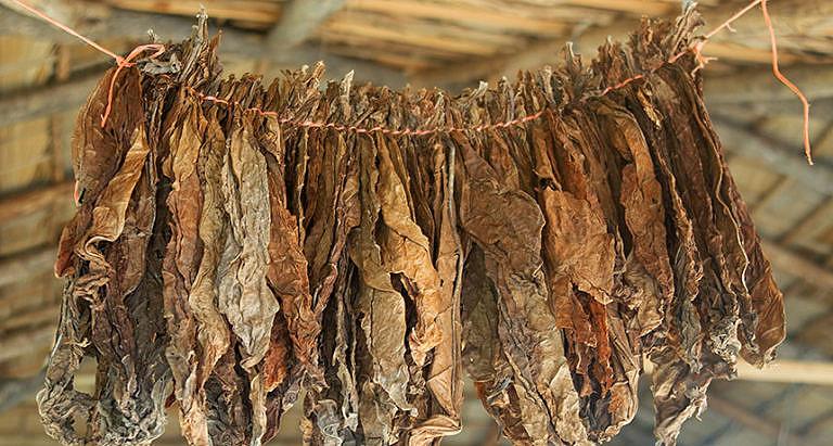 Sušení listů tabáku.