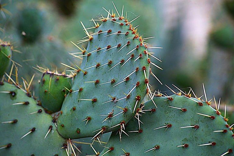 Kaktus Opuncie. Šťávu z tohoto kaktusu používaly indiánky Velkých plání při výrobě surové kůže, zejména jako podklad pro malbu a potom také na její fixaci.