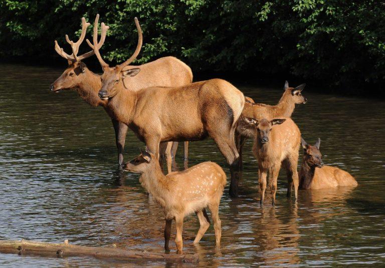 Rodinka jelenců. Věk zvířete, ze kterého pochází kůže je zásadní faktor.