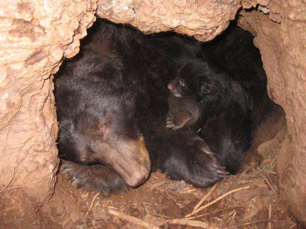 Medvědi v brlohu